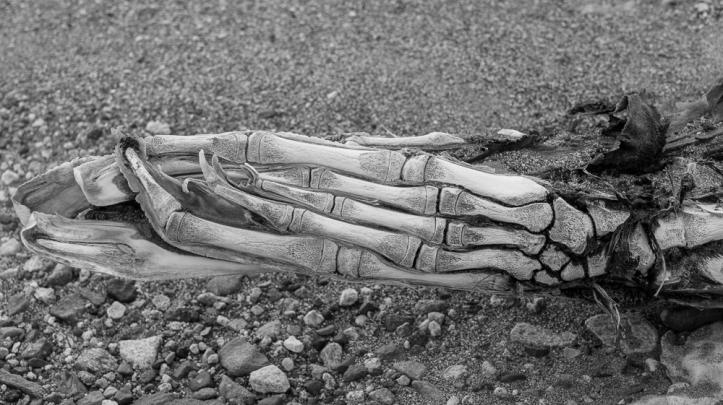 Bones of the seal's